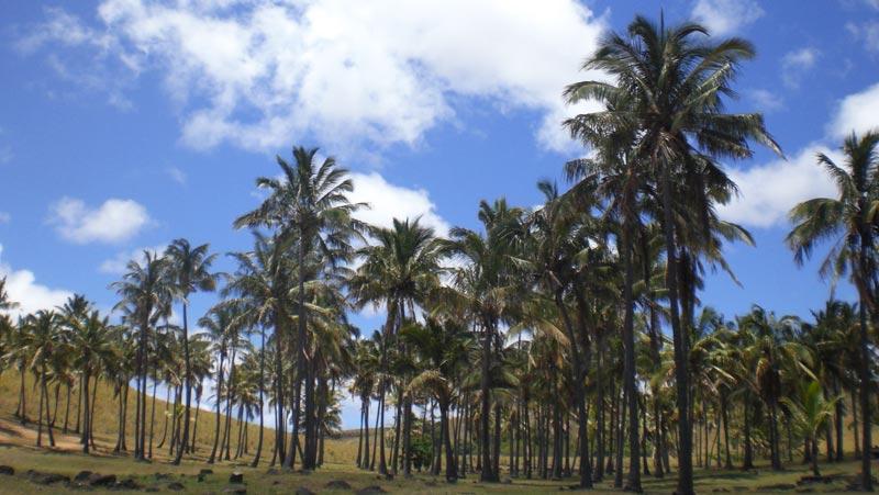 イースター島植林活動